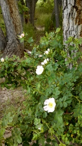 This wild rose is in the area my husband brought me to on Monday evening. At the time, there weren't even the smallest of buds visible. Less than a week later, it had bloomed. I think that's both new and exciting. :)